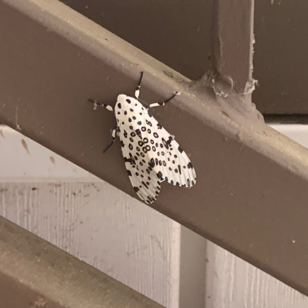 And how cool is this speckled moth?!